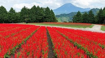 Salvia field and mount Daisen